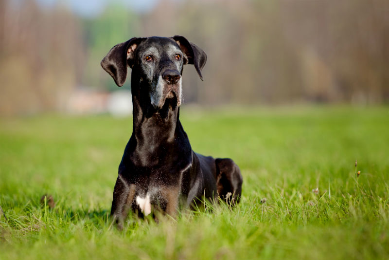 Osteoarthritis and Senior Dogs