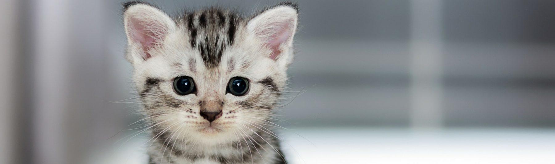kitten-spay-neutering