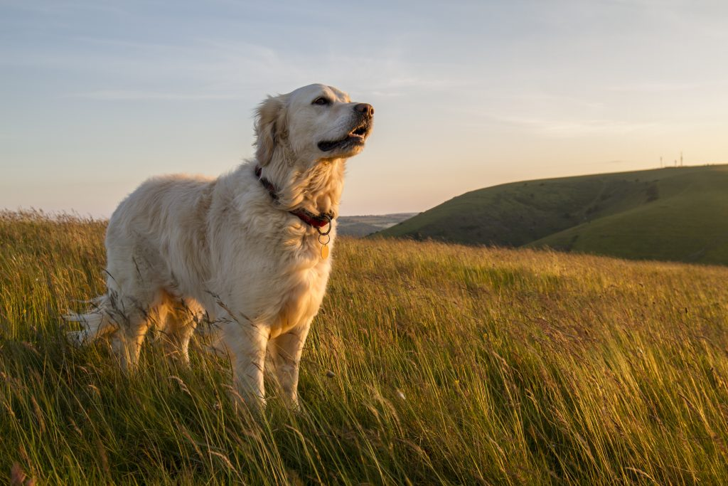 dog on hill in evening sun