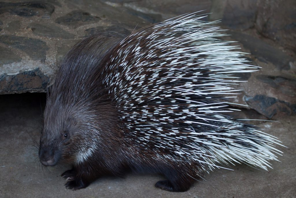porcupine with quills