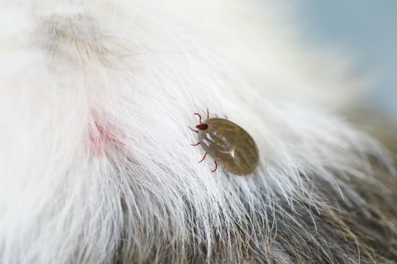 Tick on dog's fur