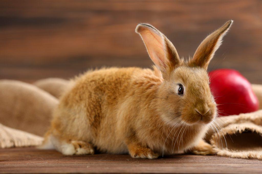 rabbit-dental