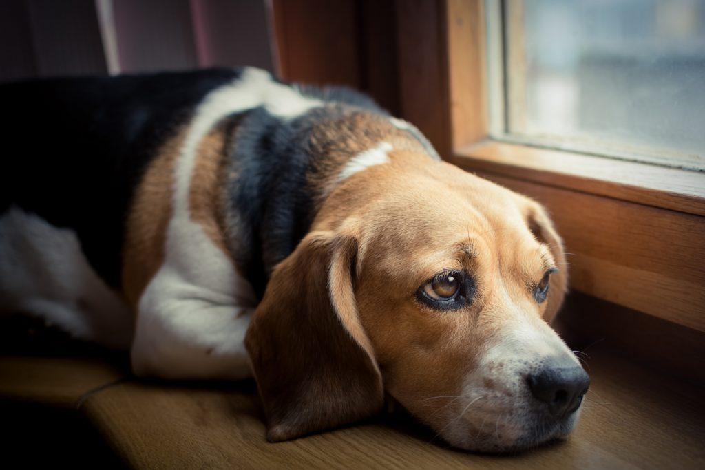 pain in pets