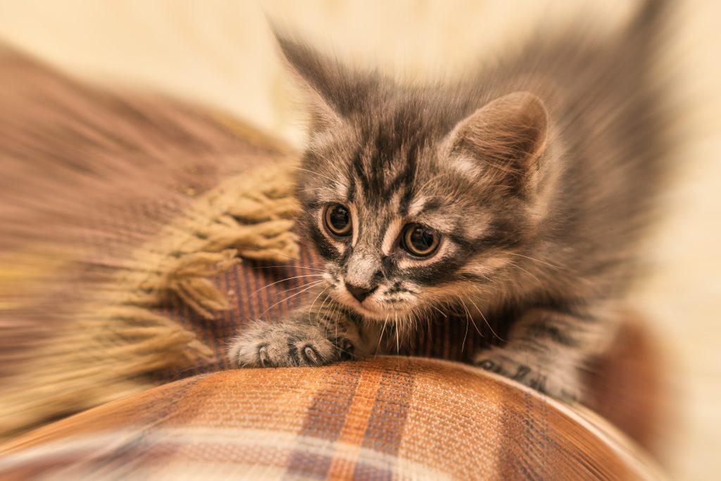 FAS-cat
