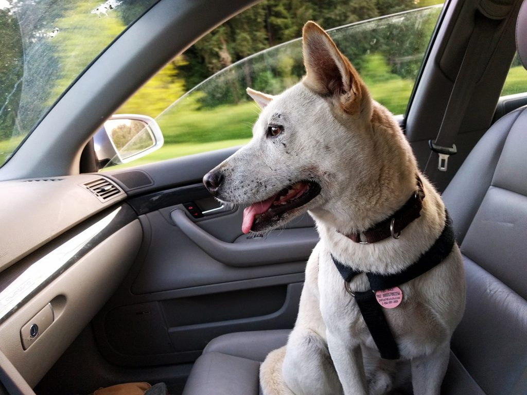 dog in car with seat belt