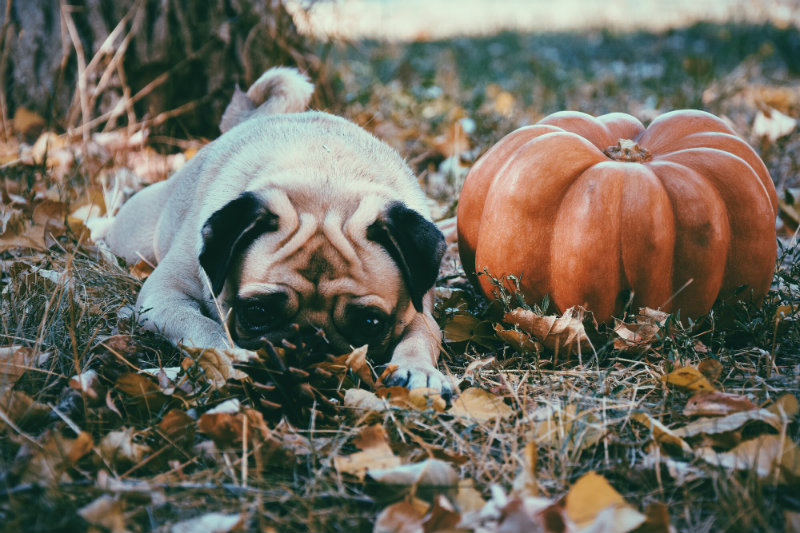 dog in leaves and pumpkin