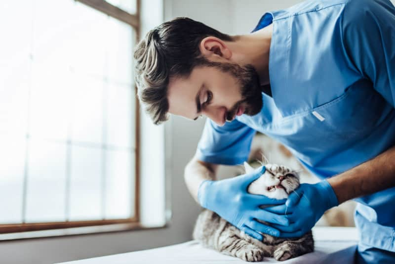 cat being treated by a vet