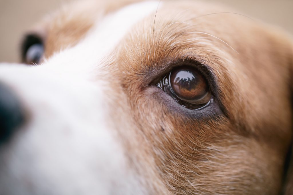 Red Pupil Dog