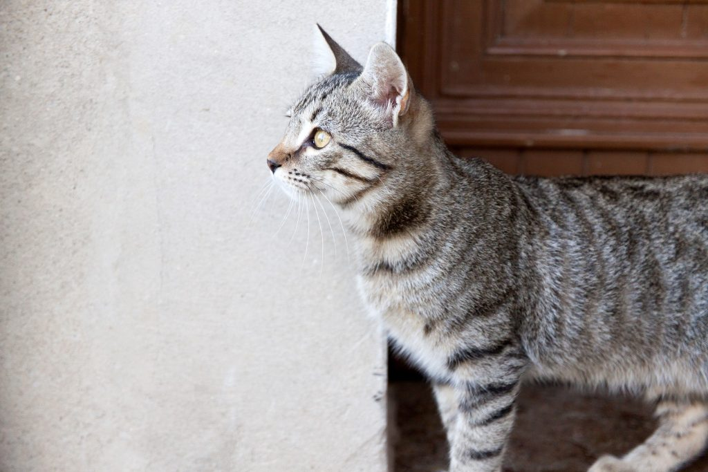 cat-blog-fleas