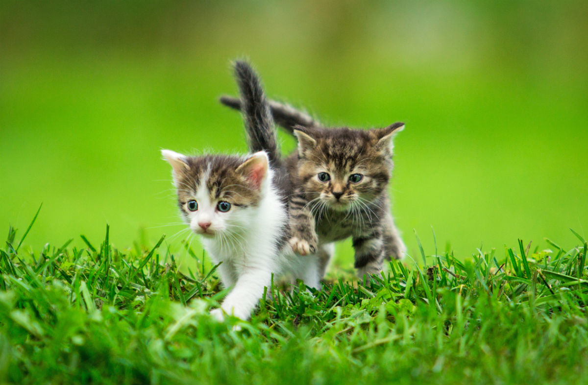 Two kittens running in grass
